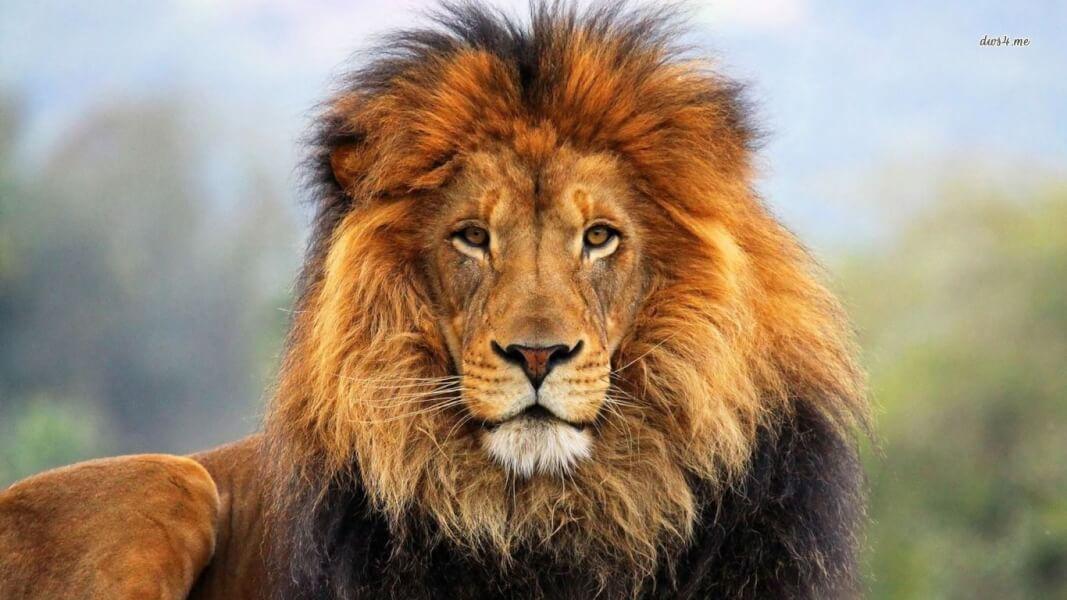 hajhullás oka oroszlán